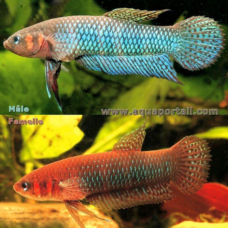 Gambar ikan cupang alam jantan dan betina