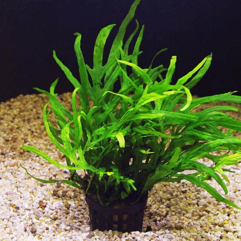 Tumbuhan Air Untuk Ikan Cupang