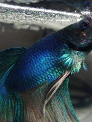 Penyebab Ikan Cupang Mengeluarkan Buih
