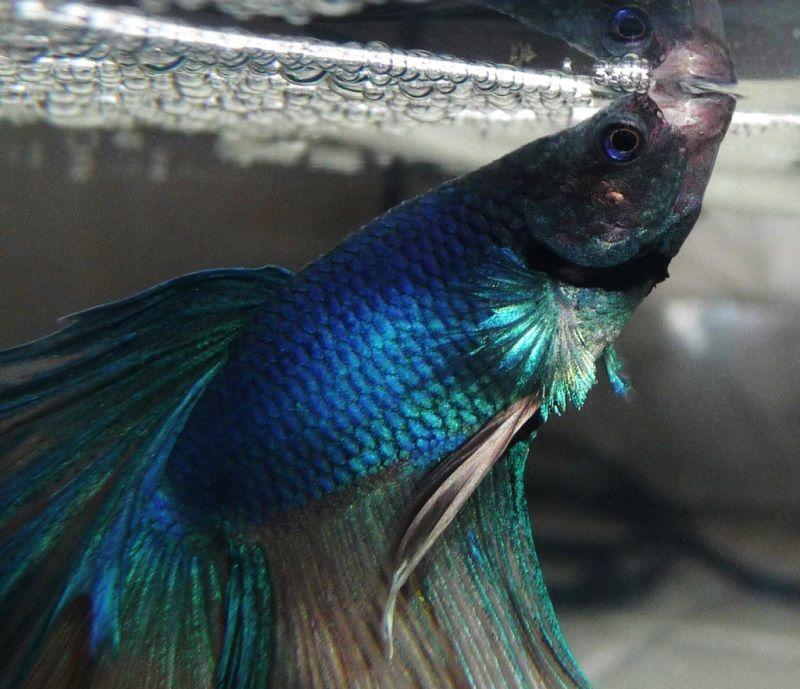 Inilah 3 Penyebab Ikan Cupang Mengeluarkan Buih Harga Jual Cupang