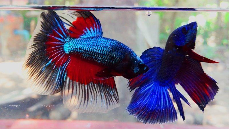 Gambar Penyebab Ikan Cupang Mati-Gangguan Teman Ikan Cupang Se-aquarium