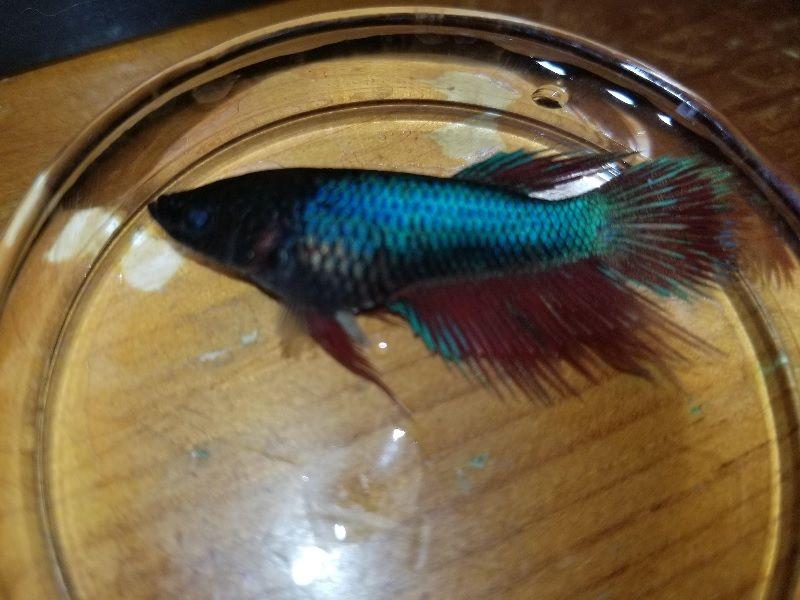 Gambar Penyebab Ikan Cupang Mati-Kondisi Air Yang Buruk