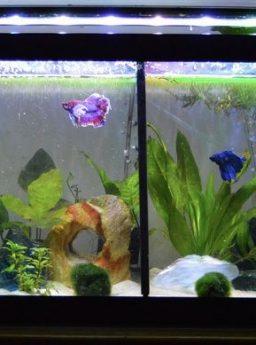 Ukuran Aquarium Ikan Cupang