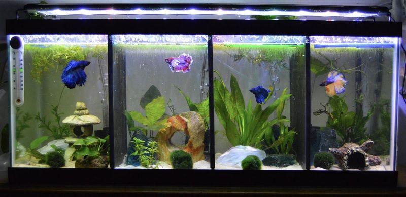 Ukuran Aquarium Ikan Cupang Hias Yang Paling Tepat Harga Jual Cupang