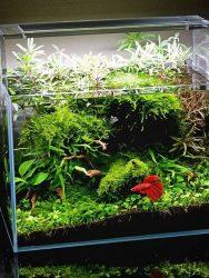 Gambar aquarium ikan cupang unik