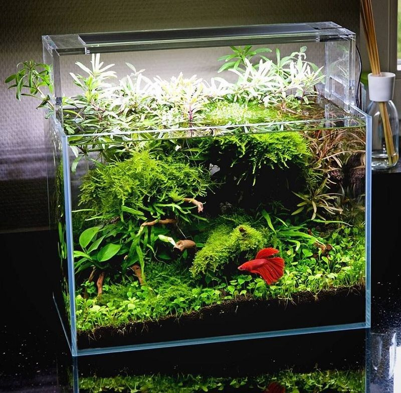 Aquascape Mini Ikan Cupang Seperti Ini Cara Membuatnya Harga Jual Cupang