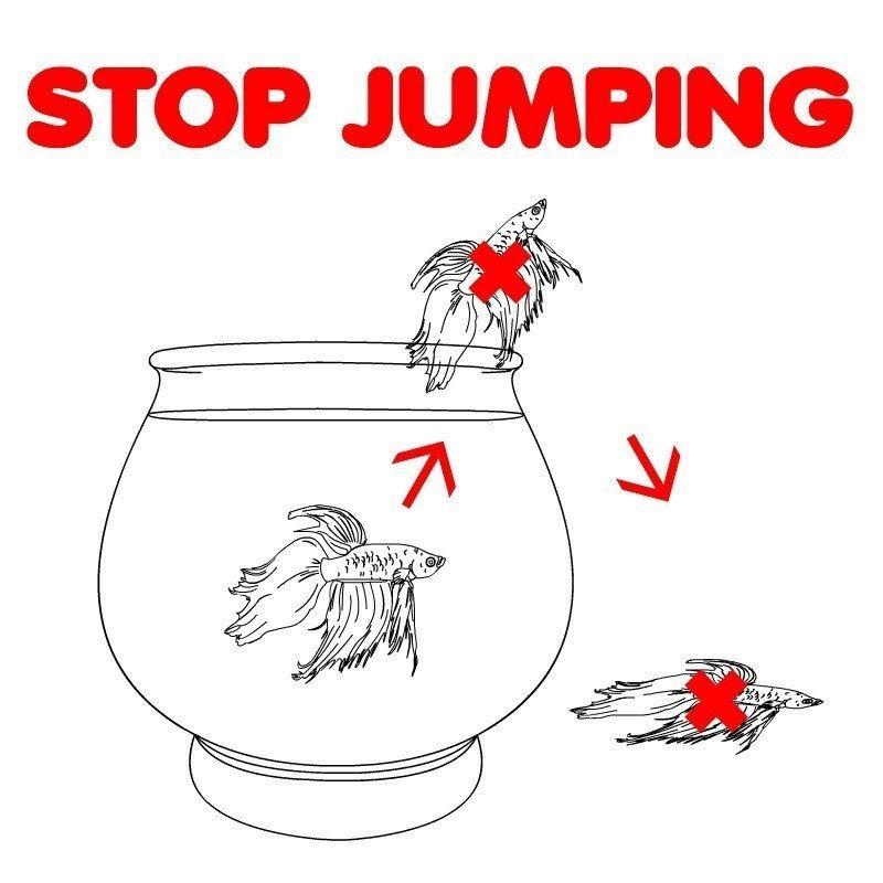Gambar Alasan Penyebab Ikan Cupang Loncat Akuarium