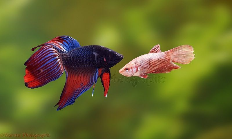 ikan cupang jantan cupang betina