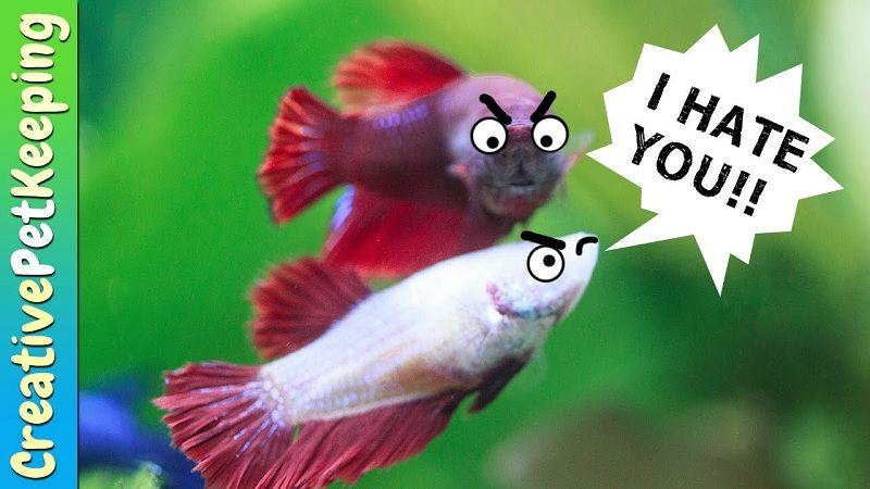 Ciri Ciri Ikan Cupang Tidak Jodoh Dan Berjodoh Harga Jual Cupang