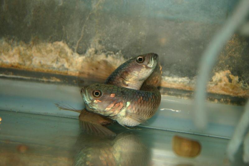 Media Telur Ikan Cupang Yang Baik Harga Jual Cupang