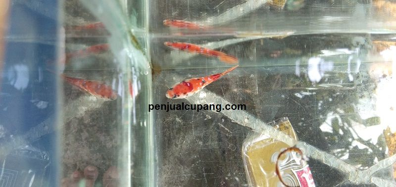 Gambar Cara Merawat Ikan Cupang Betina