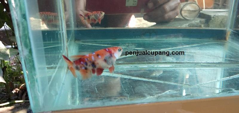 Ikan Cupang Nemo Leopard