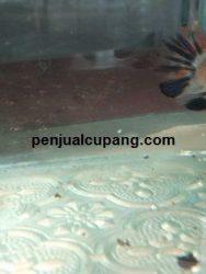 Gambar Ikan Cupang Betina Siap Kawin