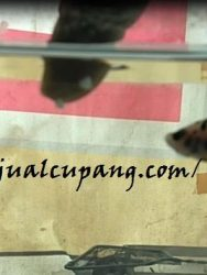 Makanan Ikan Cupang Nasi