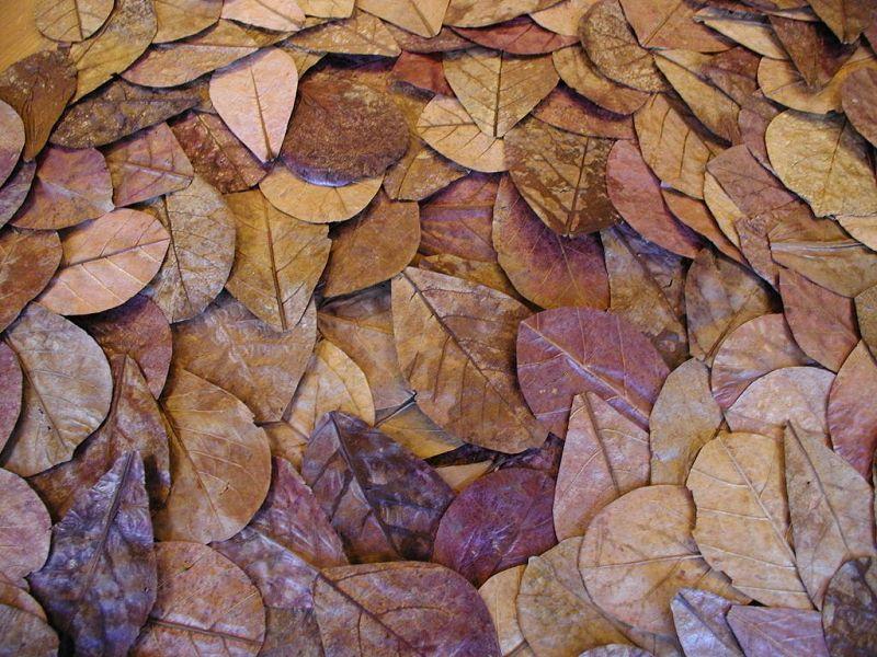 Pengganti daun ketapang untuk ikan cupang