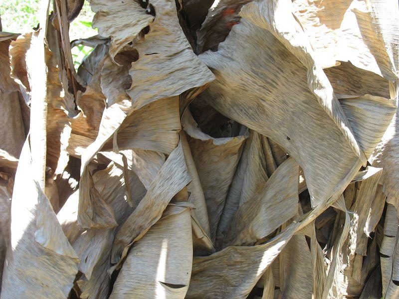 Daun pisang kering untuk ikan cupang