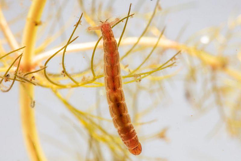Cacing Darah - Perbedaan Cacing Darah ( bloodworm ) dan Cacing Sutra