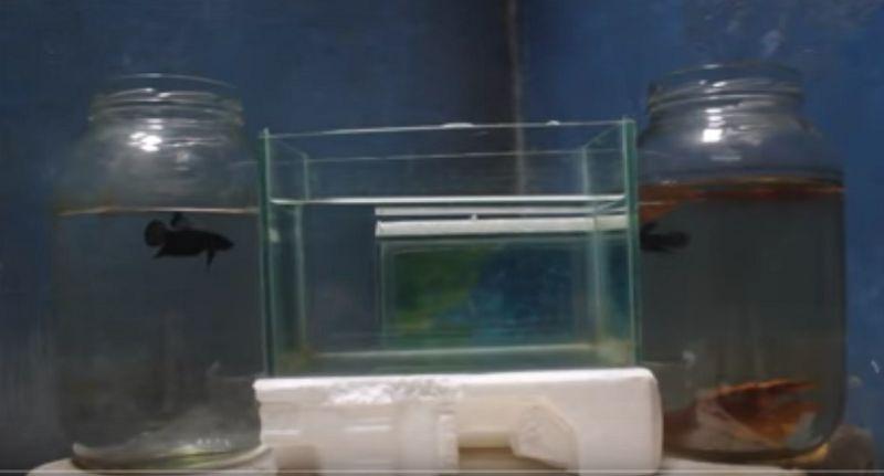 Cara Merawat Ikan Cupang Aduan Biar Ganas