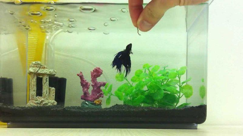 Ikan Cupang Makan Cacing Darah