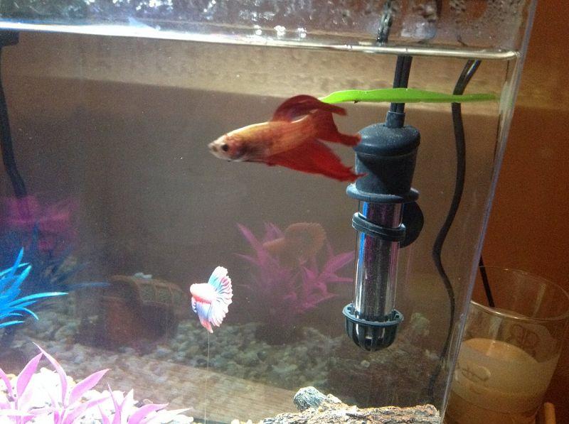 pH Air Untuk Ikan Cupang Kawin