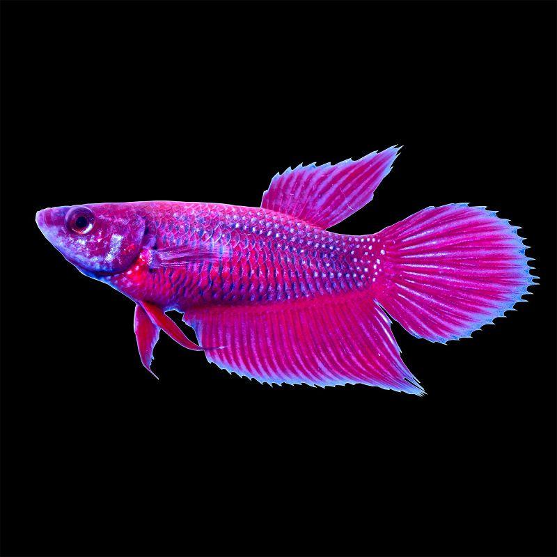 Berapa Lama Ikan Cupang Betina Bisa Dikawinkan Lagi