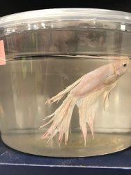 Cara Mengatasi Ekor Ikan Cupang Kuncup