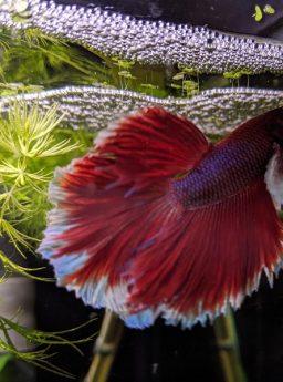 Cara Merawat Telur Ikan Cupang Hingga Menetas