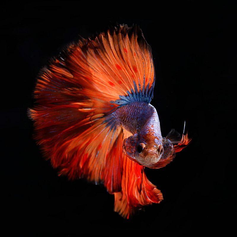 Ciri Ciri Ikan Cupang Jantan Siap Kawin