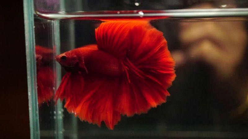 Ikan Cupang Warna Merah