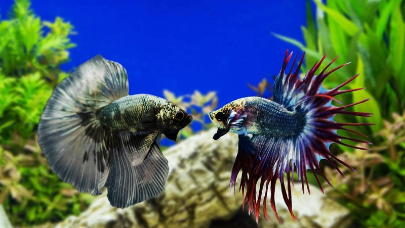 Gambar Ikan Cupang Jantan Ngedok