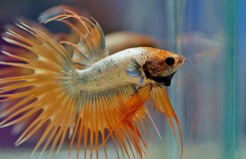 Gambar Ikan Cupang Jantan