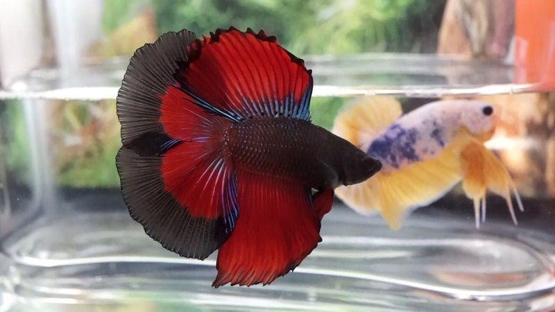 Ikan Cupang Halfmoon Double Tail