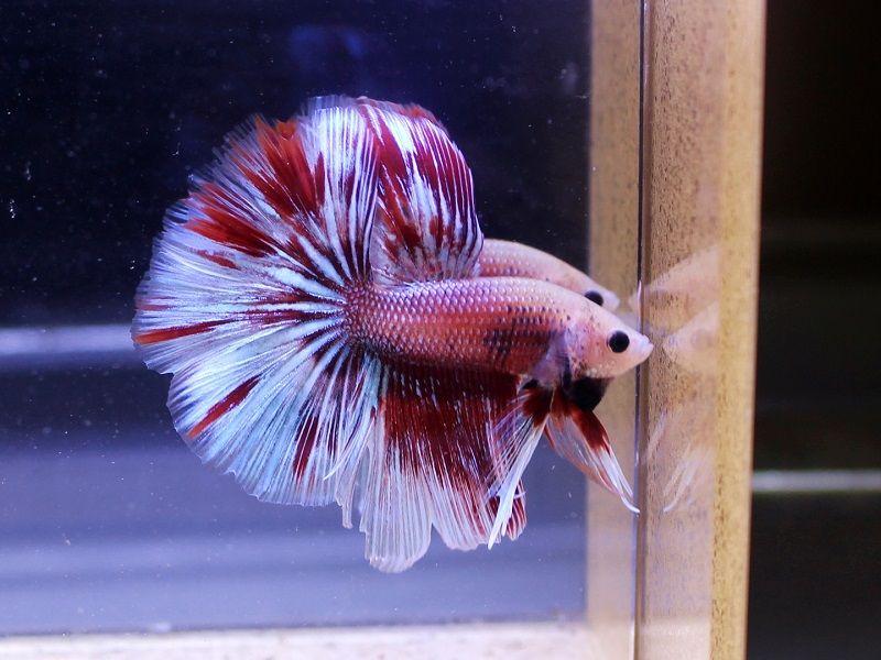 Jenis Jenis Ikan Cupang Hias Dan Gambarnya Harga Jual Cupang