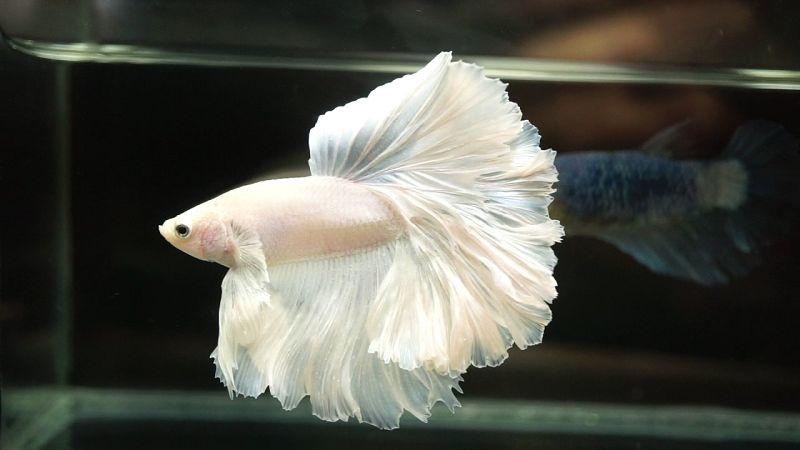 Ikan Cupang Hias Halfmoon Warna Dasar Putih