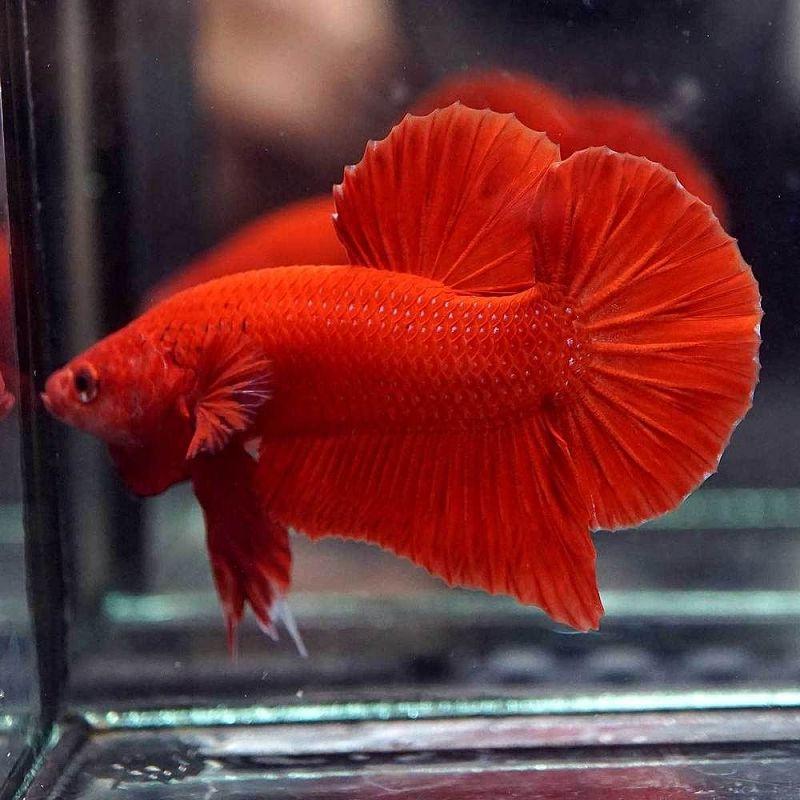 Gambar Ilustrasi Ikan Cupang