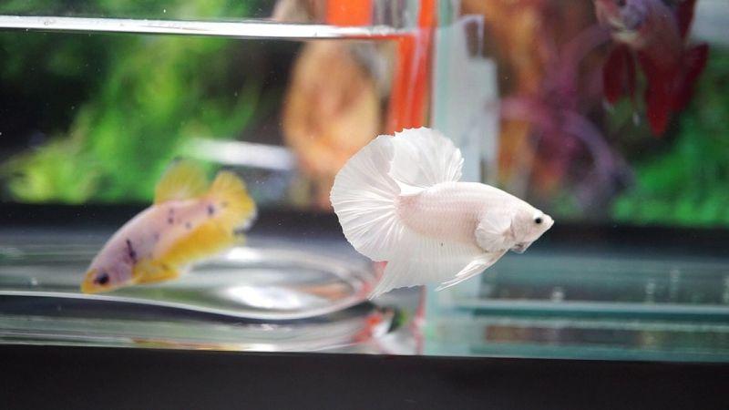 Ikan Cupang Hias Plakat Warna Putih