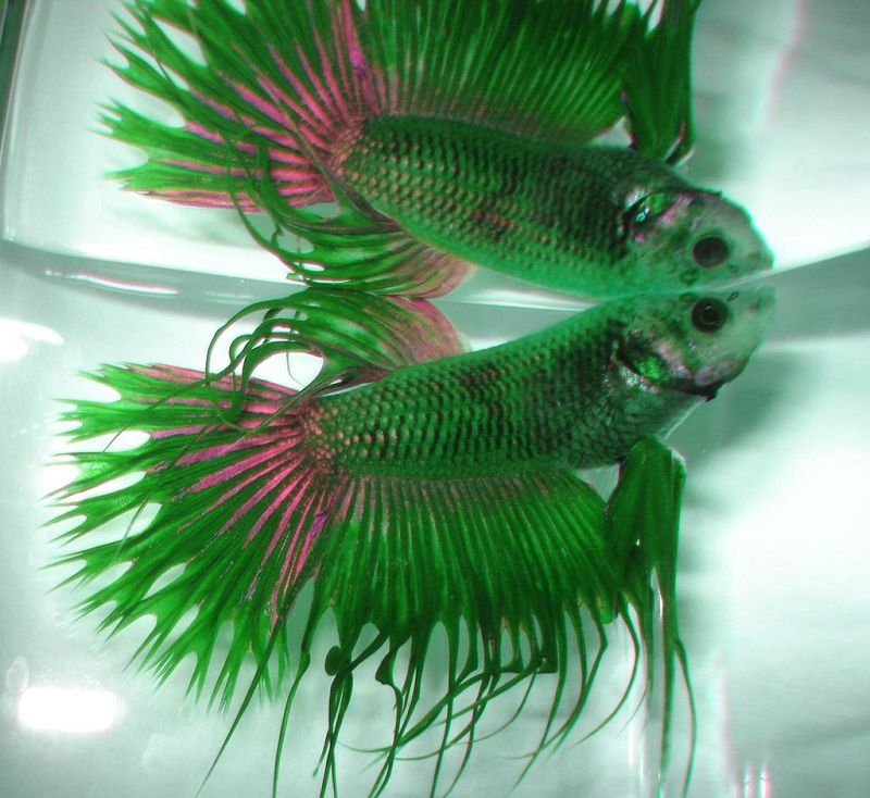 Ikan Cupang Hias Serit Warna Hijau