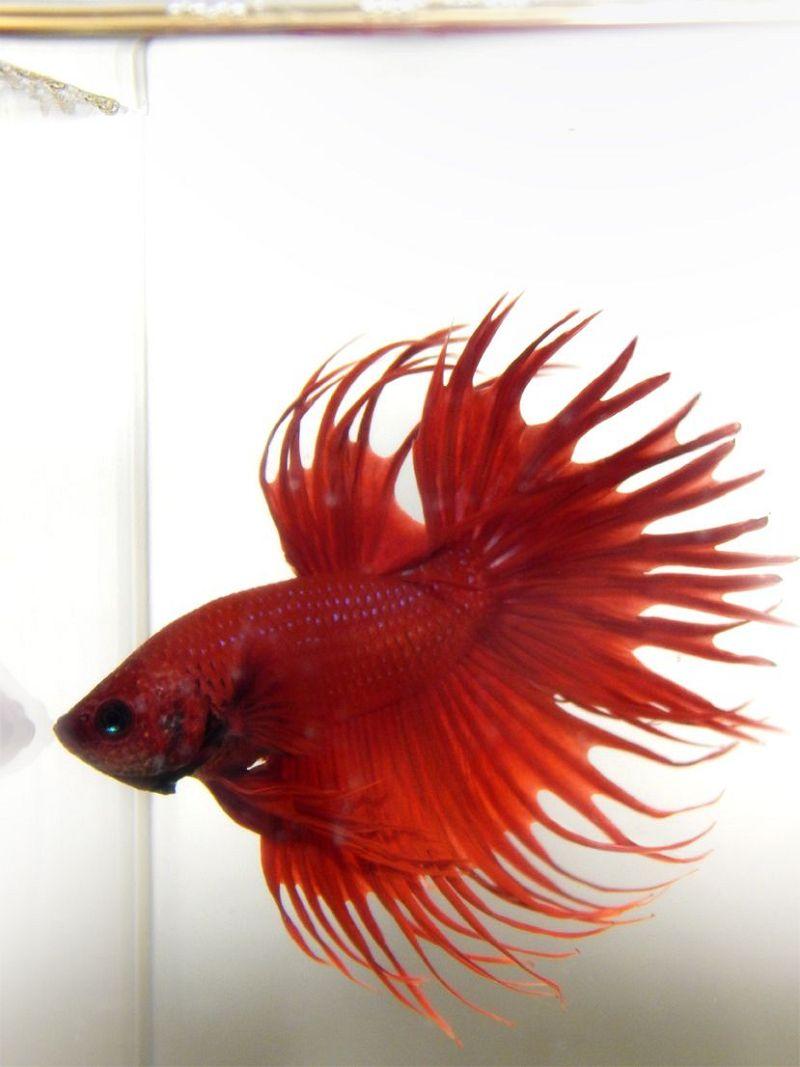 Ikan Cupang Hias Serit Warna Merah