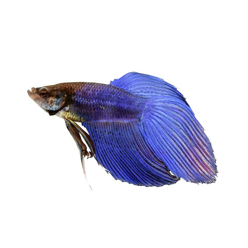 Cupang Veil-tail Warna Biru