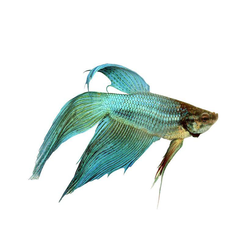 Ikan Cupang Hias Veil-tail Warna Hijau