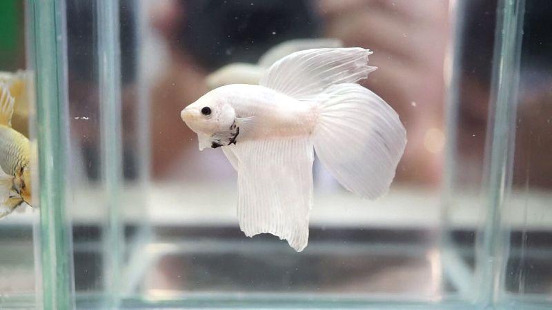 Gambar Ikan Cupang Hias Terlengkap [Warna Dasar] | Harga ...
