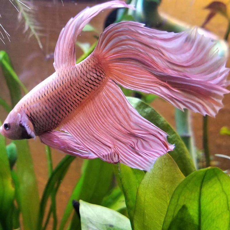 Gambar Ikan Cupang Hias Terlengkap Warna Dasar Harga Jual Cupang