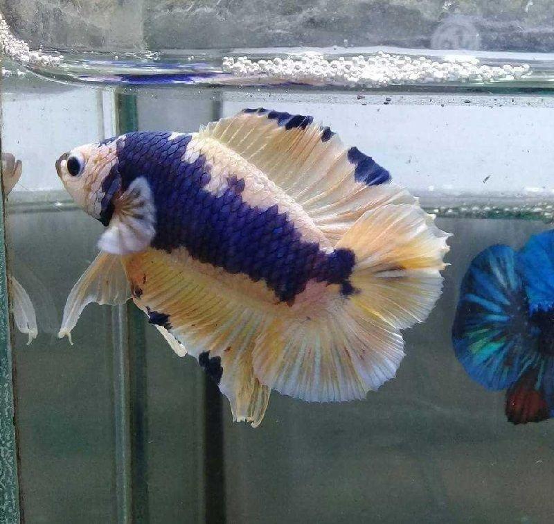 Ikan Cupang Plakat doubletail
