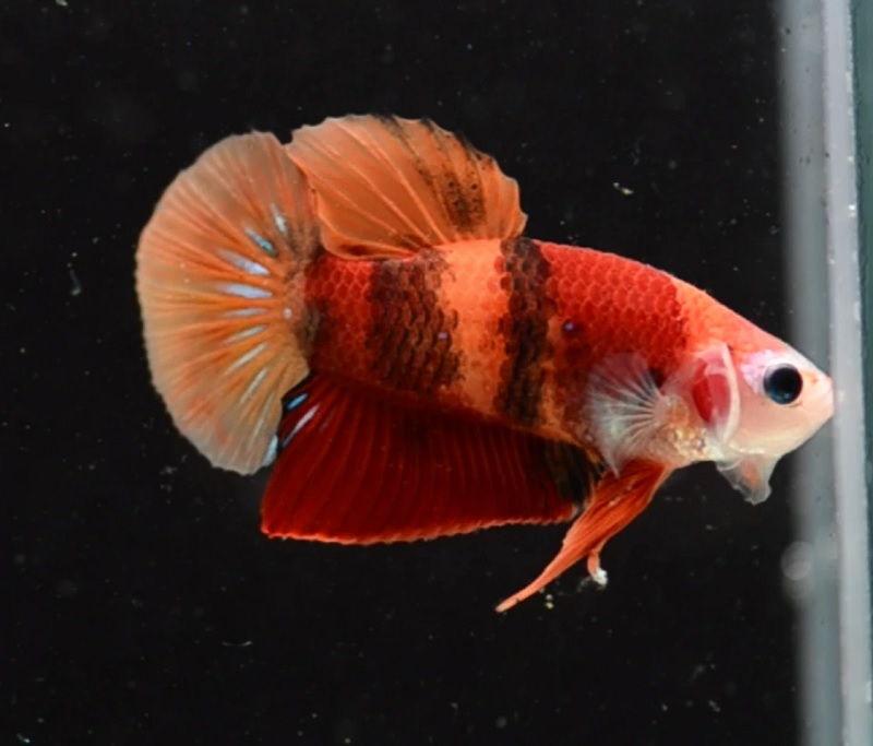 Jenis Jenis Nama Ikan Cupang