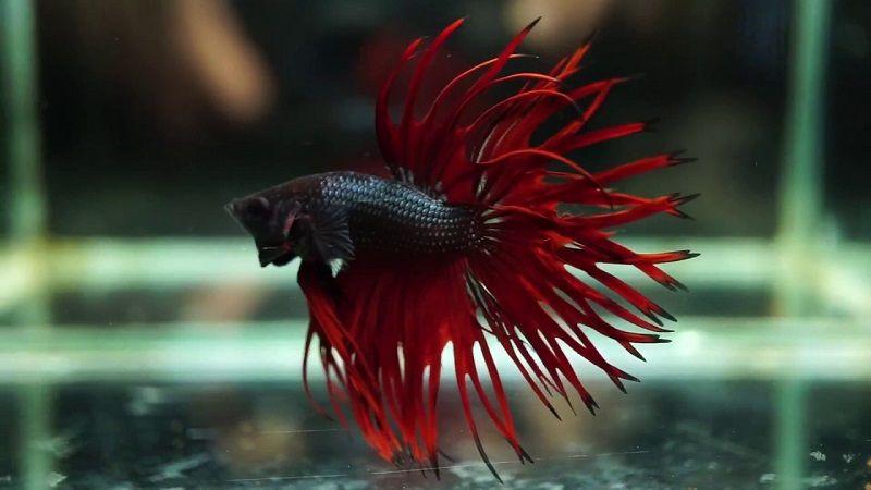 Ikan Cupang Serit - Jenis Jenis Ikan Cupang Hias dan Gambarnya