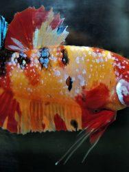 Ikan Cupang Terbesar di Dunia