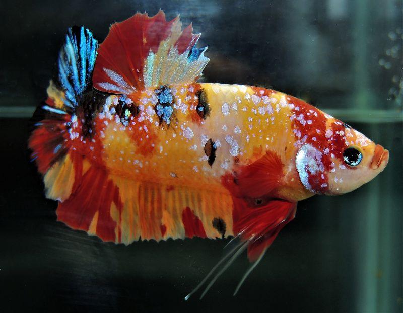 Ikan Cupang Terbesar Di Dunia Fakta Sejarahnya Harga Jual Cupang