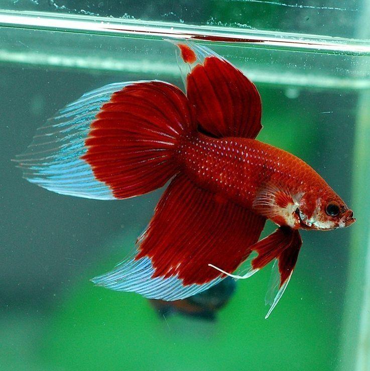 Ikan Cupang Veiltail - Jenis Jenis Ikan Cupang Hias dan Gambarnya