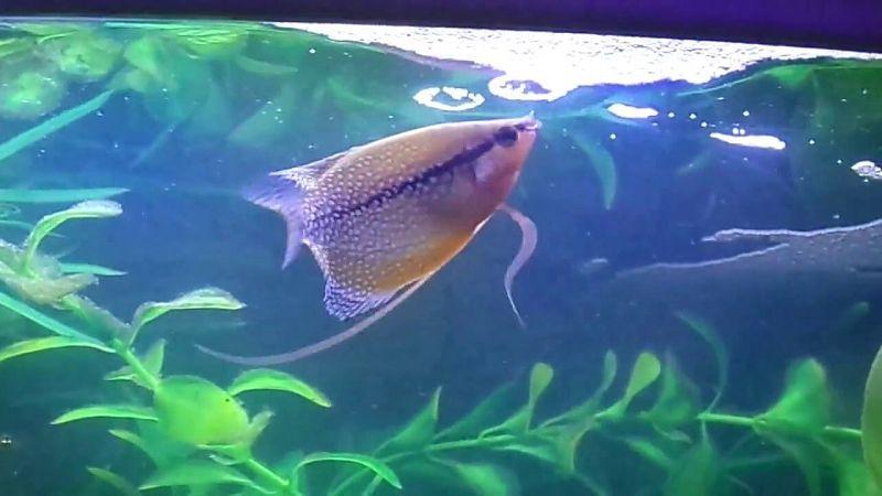 Ikan Cupang Jantan Yang Siap Kawin Akan Membuat Gelembung ...