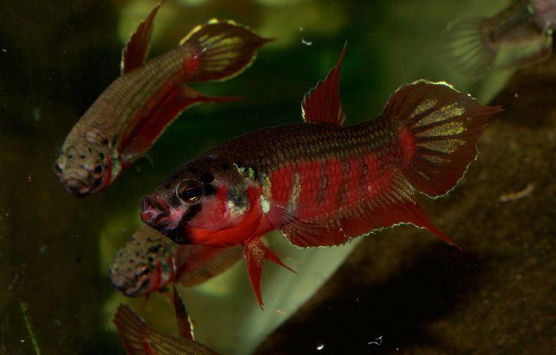 Jenis Ikan Cupang Yang Mengerami Telur dengan Memasukan Telur ke Mulutnya